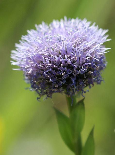 Globulaire (Globularia bisnagarica) ball flower