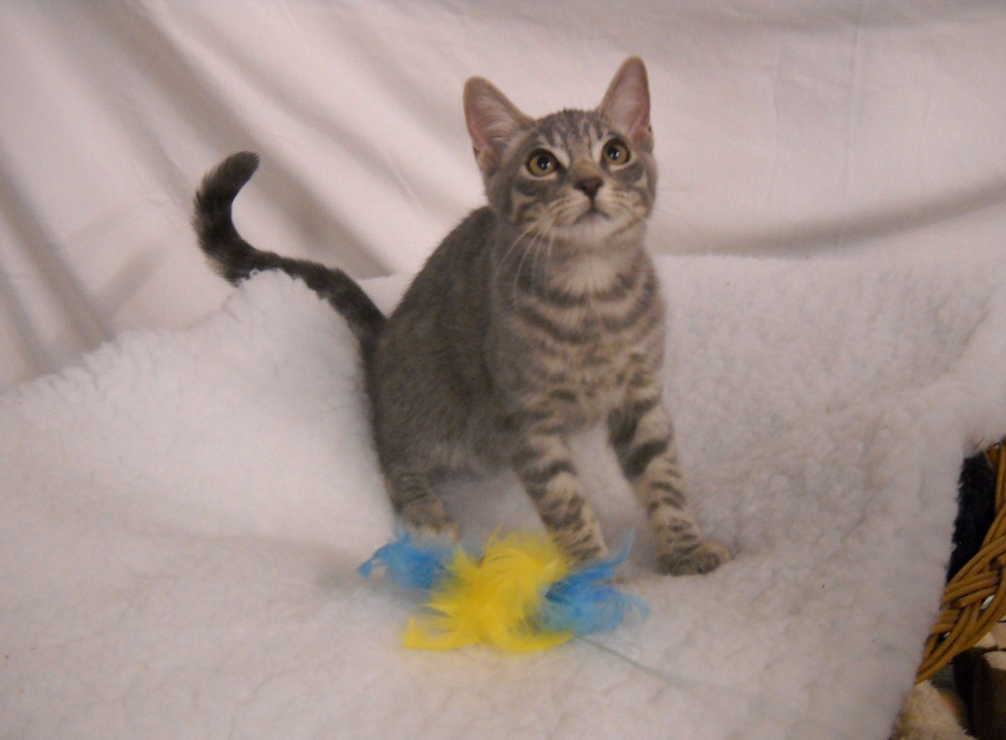 Macaroni Is A Male Silver Blue Tabby Cat Who Is 9 Months Old He Plays Well With Everyone And Is Friendly And Affectionate Dog Spay Dog Adoption Neutering Dogs