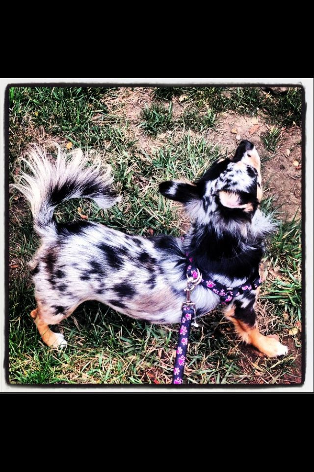 Maya Azul Blue Merle Longhair Chihuahua Talk About Perfection Love Her Merle Pattern