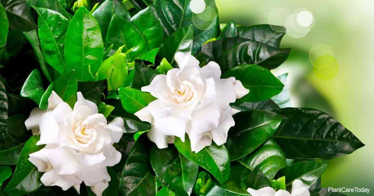 Yellow Leaves On Gardenia Causes With Images Gardenia Plant