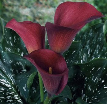 Buy Red Pulse Calla Lilies Long Flower Wholesale Calla Lily Flowers Mini Calla Lilies Red Wedding Flowers