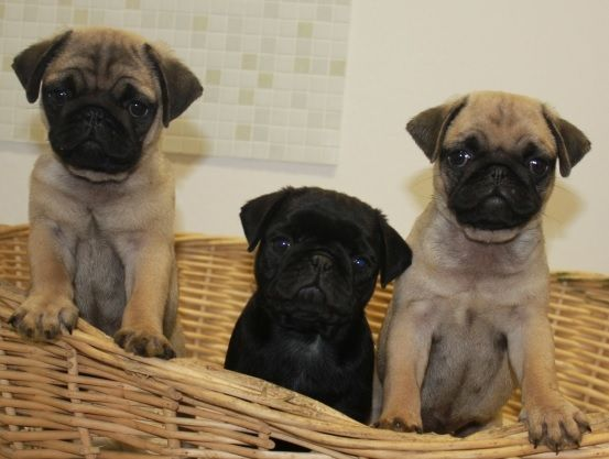 Cute Black Fawn Pug Puppies Pug Puppies Black Pug Puppies