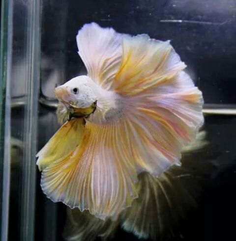 platinum pink and gold hm betta...