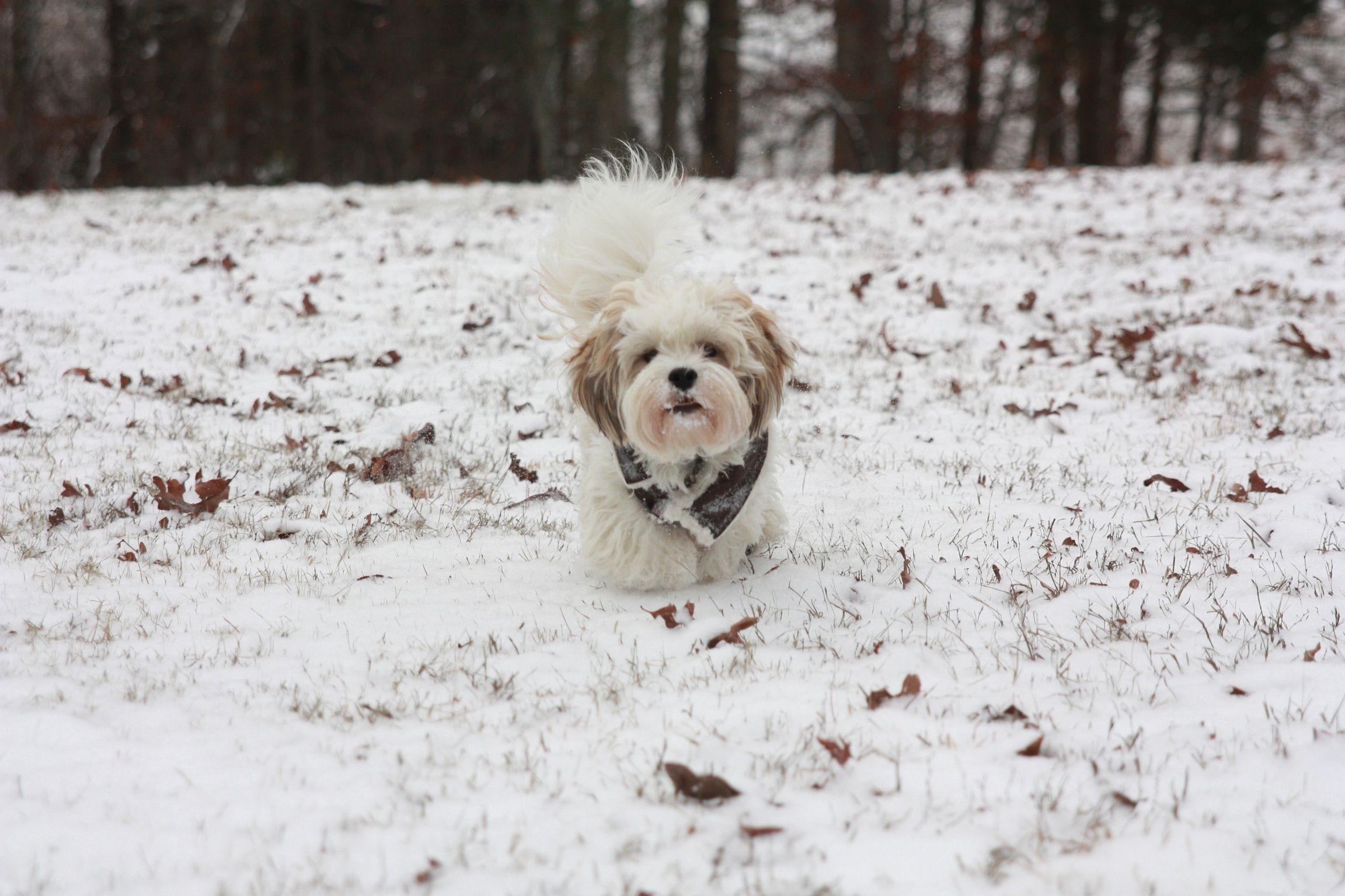 Teddy Bear Dog Shichon In The Snow Bear Dog Teddy Bear Dog Shichon Puppies