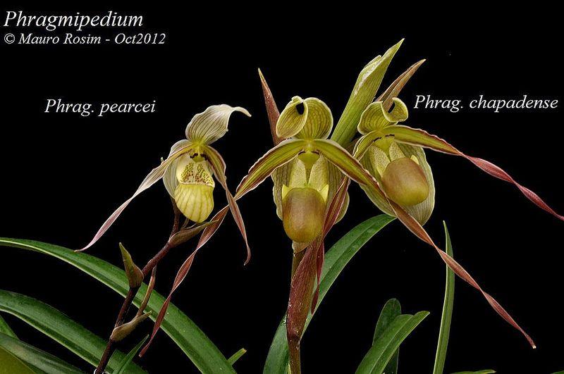 Phragmipedium pearcei & chapadense | por Mauro Rosim