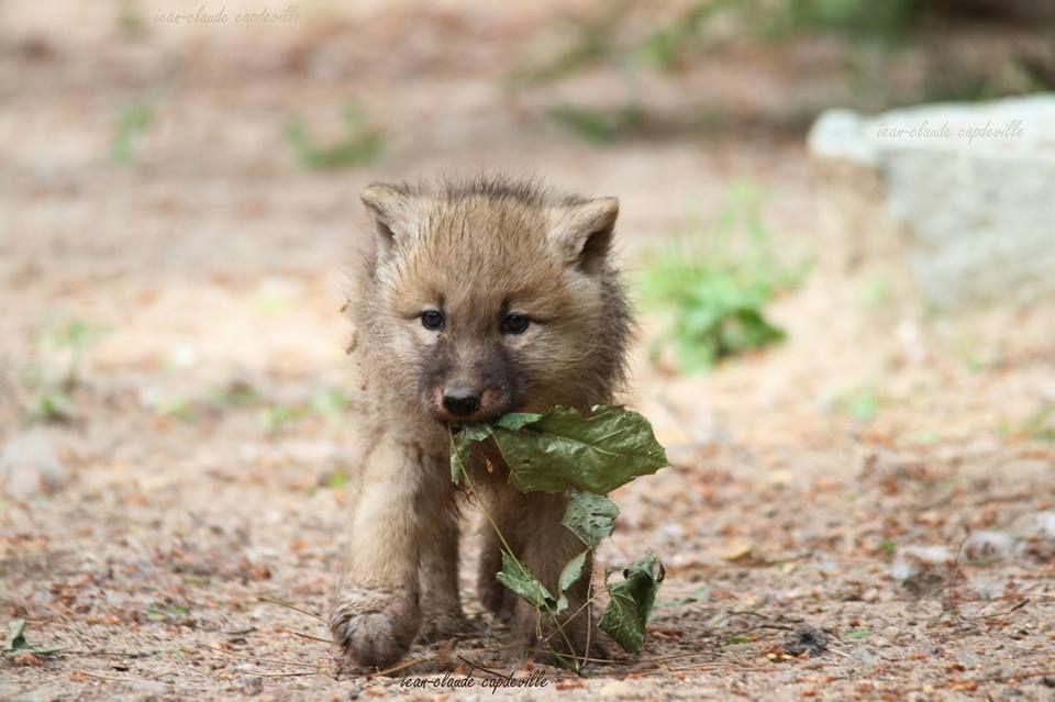 Darling Gray Wolf Pup Wolf Pup Wolf Love Animals Beautiful