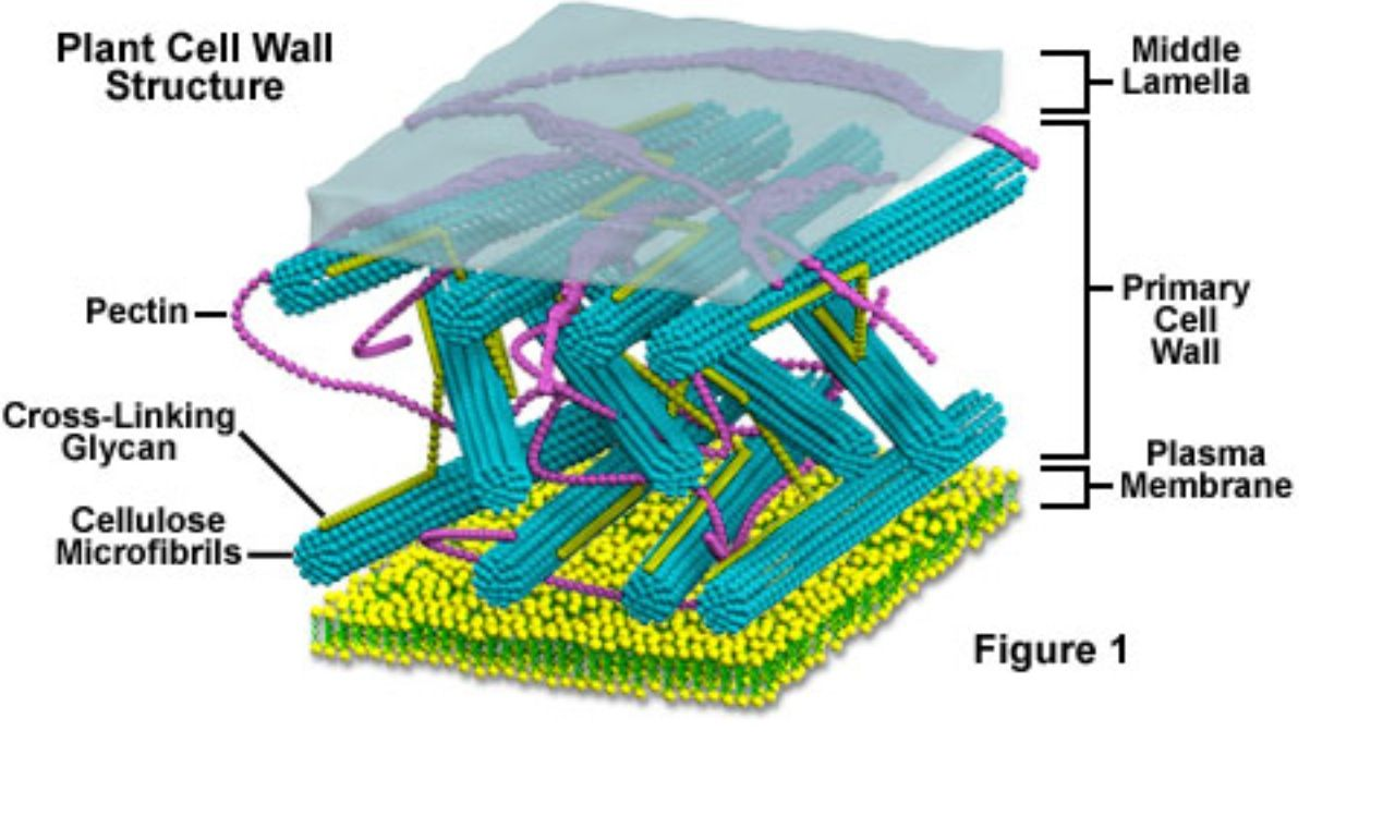 cell wall a layer of polysaccharides lying outside the on cell wall function id=49889