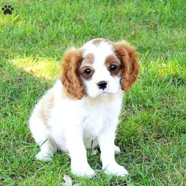 Isaac is a cute Cavalier King Charles Spaniel puppy with a lovable spirit. This jolly pup is vet checked and up to date on shots and wormer. He can be registered with the ACA and comes with a health guarantee provided by the breeder. Isaac is socialized with children and is sure to make a great addition to any family. To find out how you can welcome home this sweet pup, please contact Ephraim today!