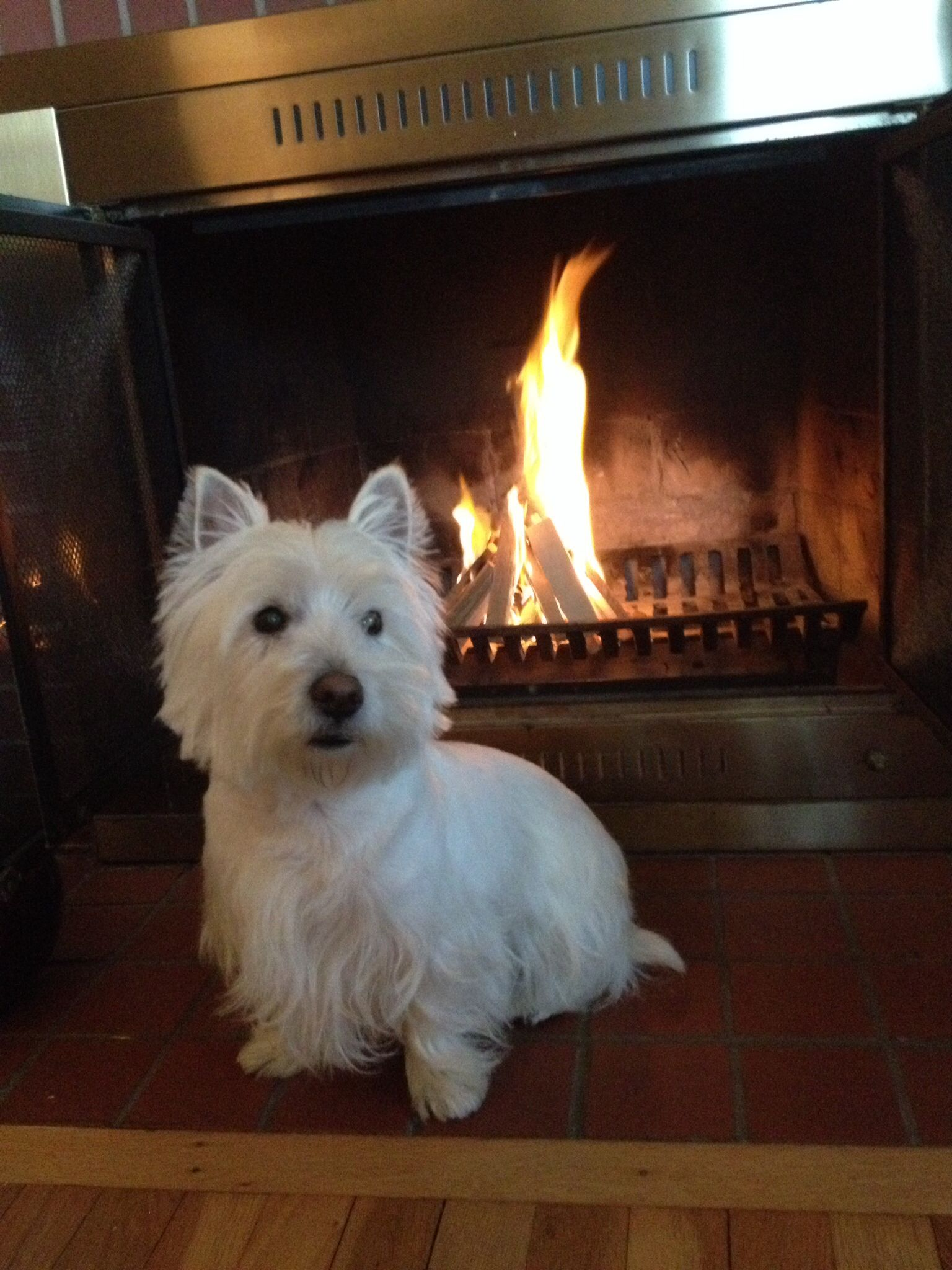 Oliver keeping toasty! Westie terrier, West highland