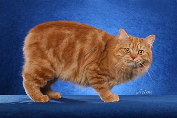 Manx Cat Wow Cat Pics Cat Habitat Manx Kittens