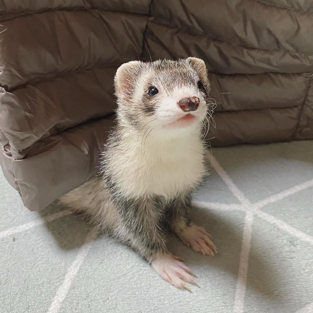 Do You Love Me In 2020 Cute Ferrets Ferret Cute Baby Animals