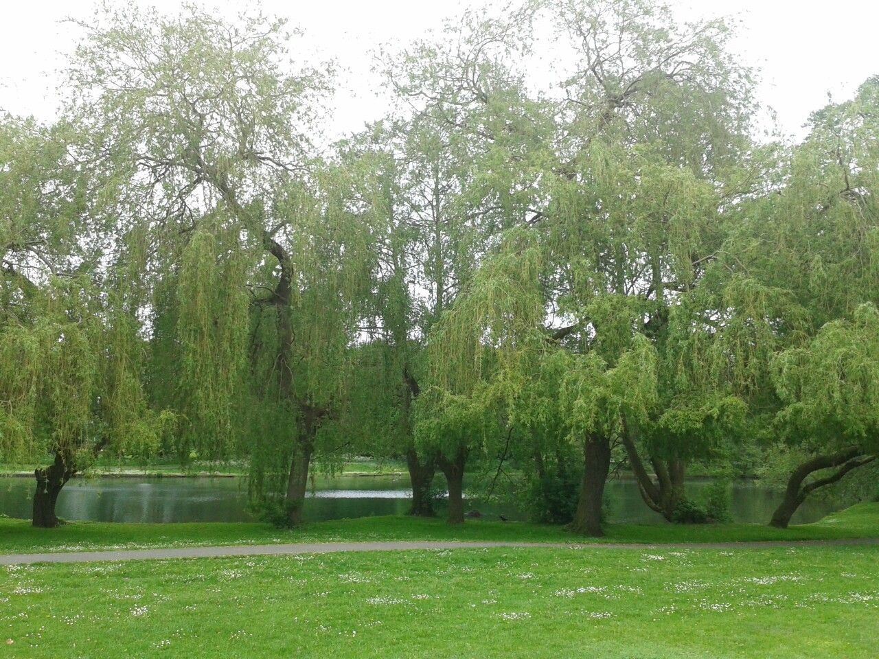 Boultham Park Willow Trees 2018...MArtPhotography Tree