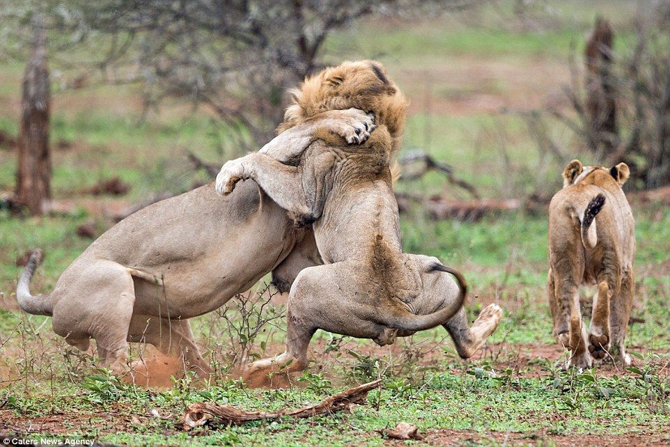 Angry Lion Gives Rival A Beating After He Interrupted As He Mated  Big Cats, Female -6848