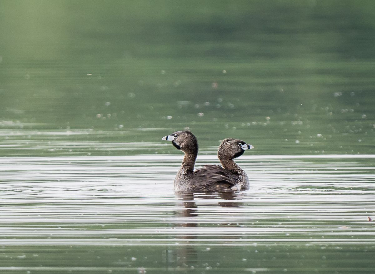Pied-Billed Grebes ©Kevin Rutherford. Wild Bird Company - Boulder, CO. Saturday Morning Bird Walk in Boulder County - June 6, 2015.