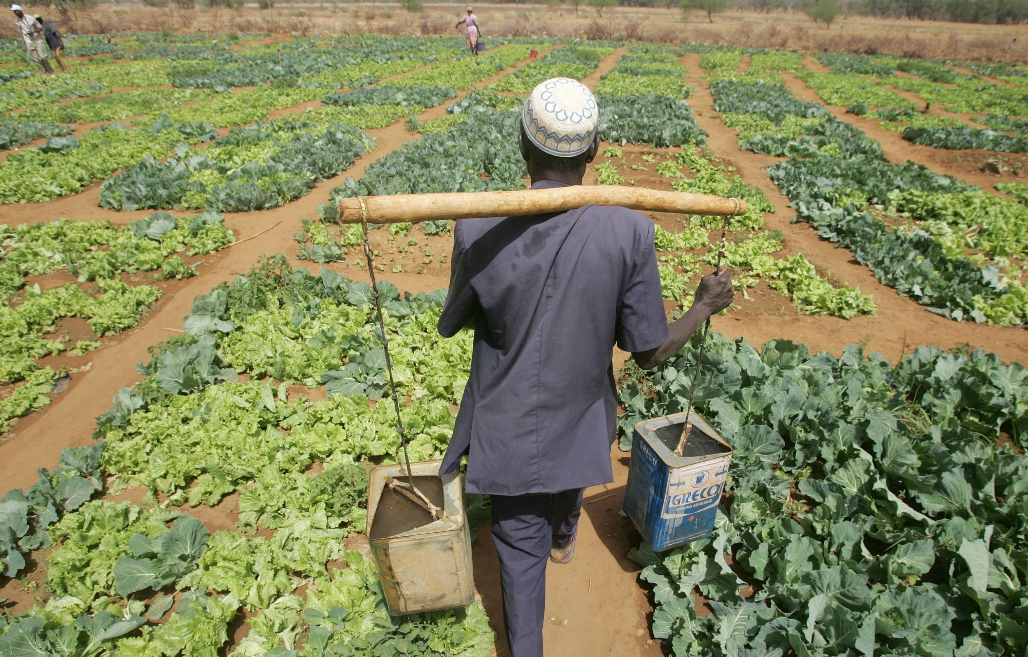 A Farmer Carrying Watering Cans To Irrigate Lettuce And Cabbage