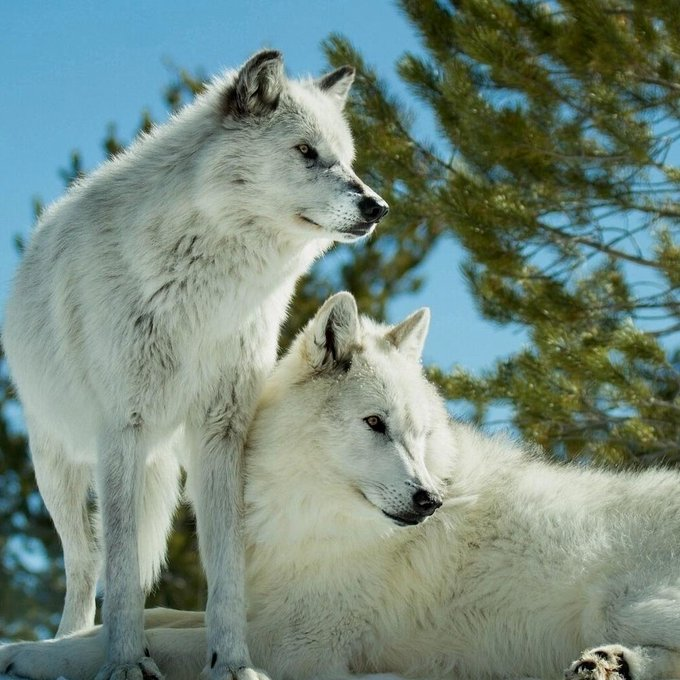 Lisa Grannis On Twitter Wolf Photos Wolf Pictures White Wolf