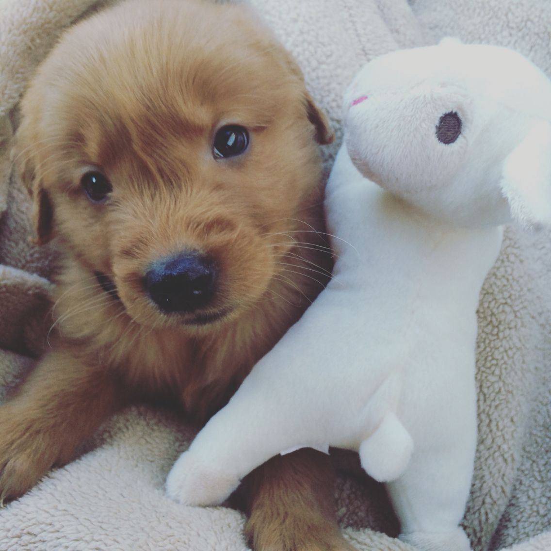 Golden Retriever Puppies Montana For Sale References