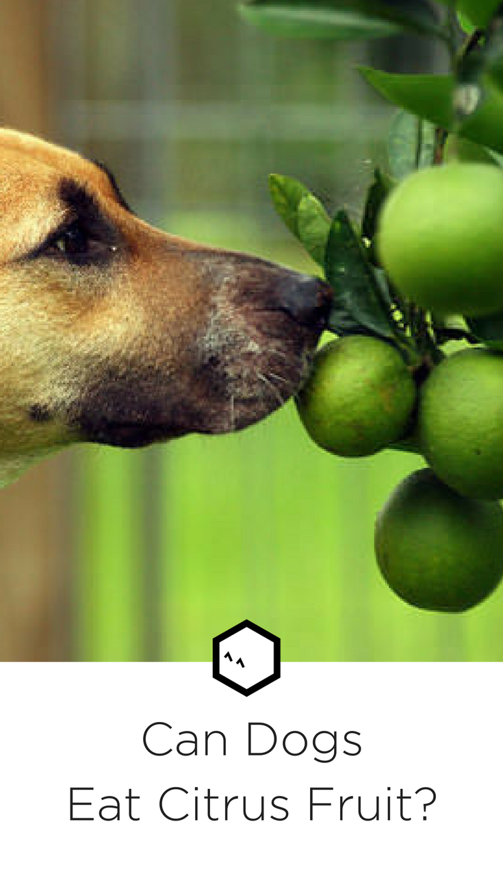 Citrus Fruit Can Dogs Have Oranges Tangerines Or Grapefruit Can Dogs Eat Can Dogs Eat Oranges Dog Eating