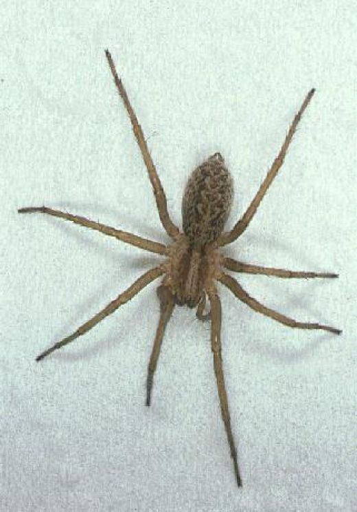 Hobo Spider Don T Bug Me Spider Hobo Spider Brown