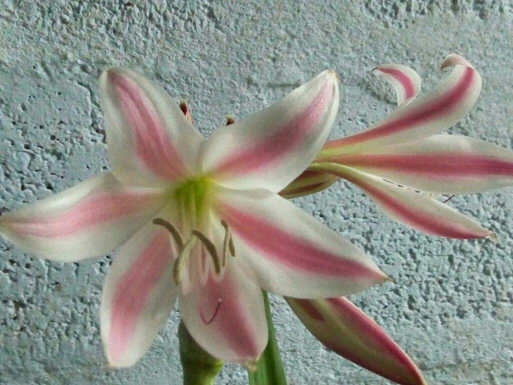 Crinium bloom