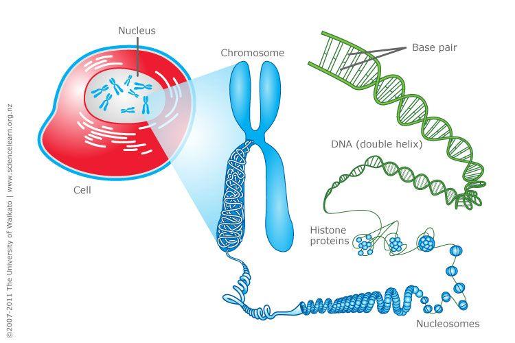 Cell, chromosomes and DNA Teacher - new blueprint gene expression