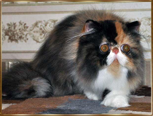 TOY TRICKSY персидские и экзотические кошки persian exotic