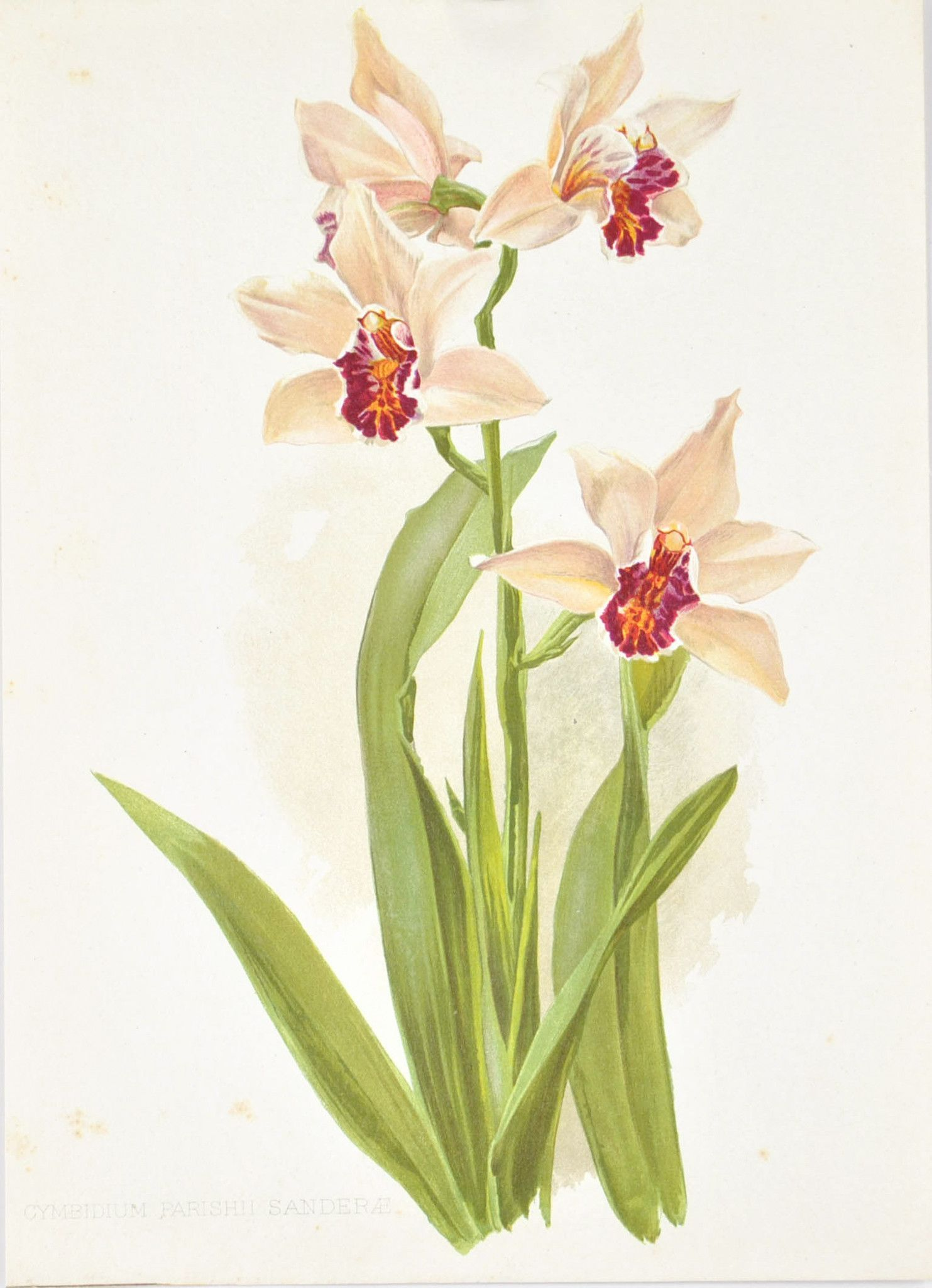 Sander S Cymbidium Orchid 1905 Henry Moon Botanical Flower Print Botanical Flowers Print Botanical Flowers Botanical Painting