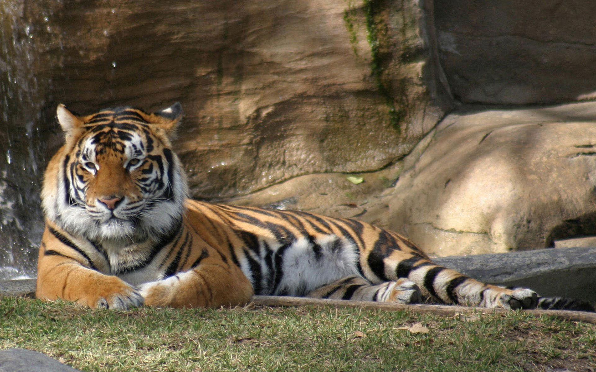 Tiger Wallpaper Pet Tiger Tiger Wallpaper Tiger Walking