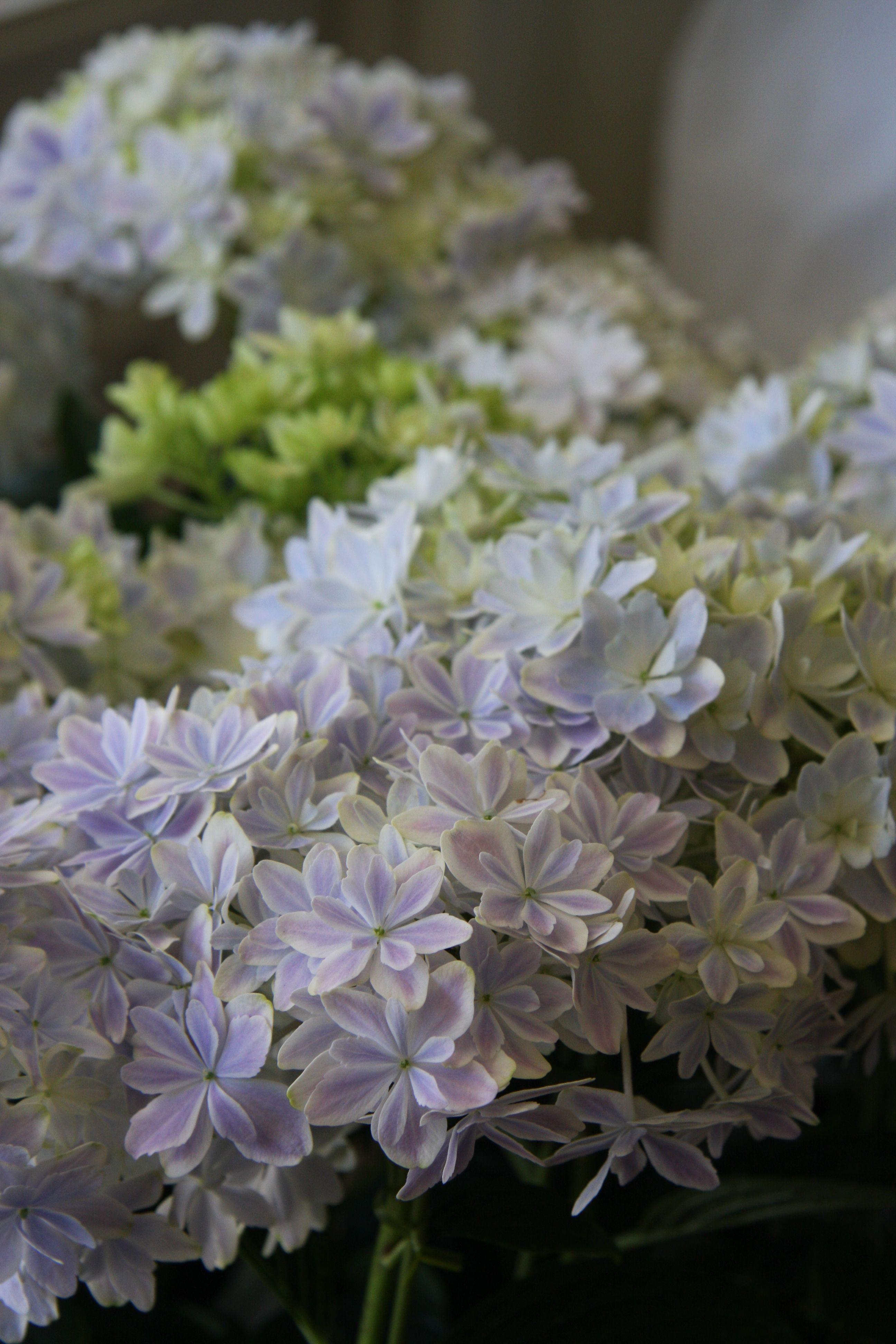 hydrangea kaleidoscope... La nature est belle...!