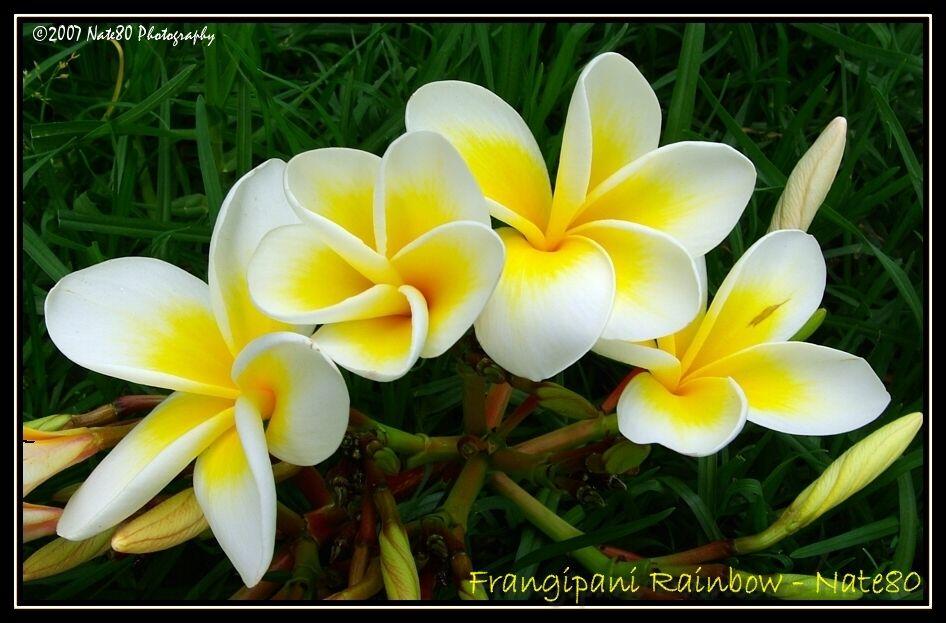 Frangipani Rainbow by Nate80 on DeviantArt