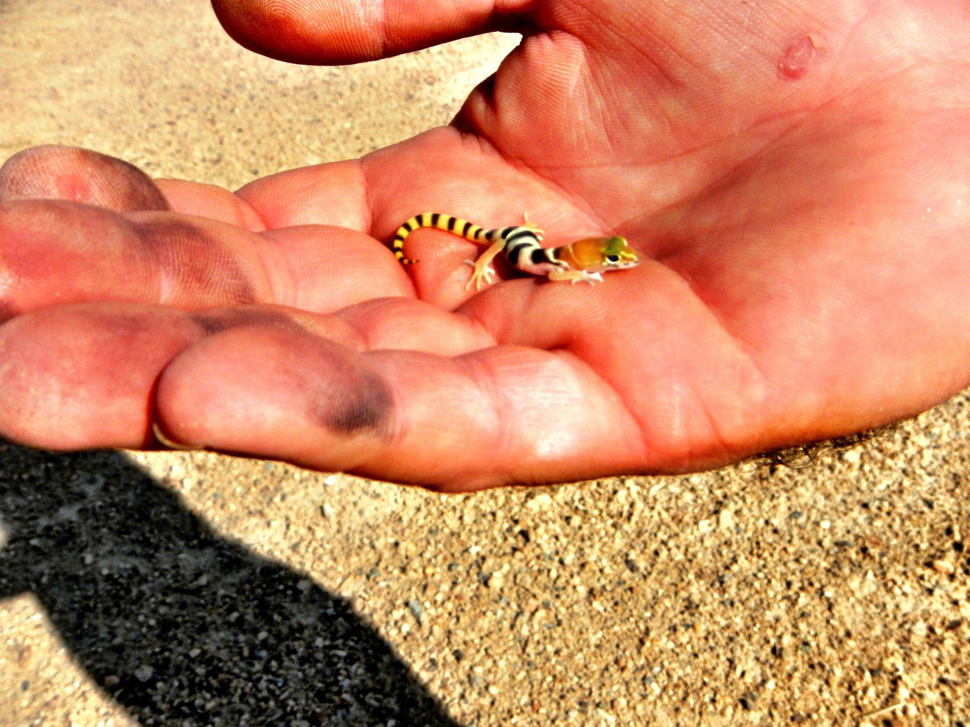 wild baby leopard gecko found in the mojave desert www