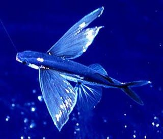 Can Flying Fish Really Fly Animaux Poisson Dessin