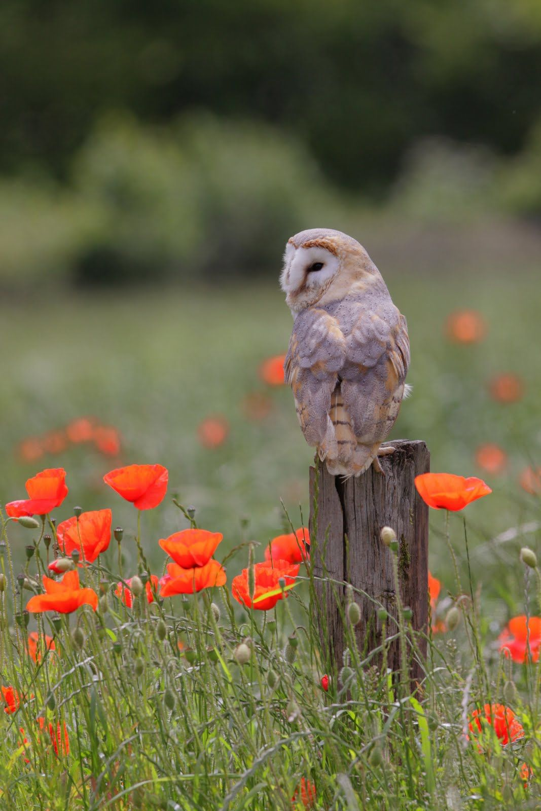 'Owl & Poppies' by Paul Hobson