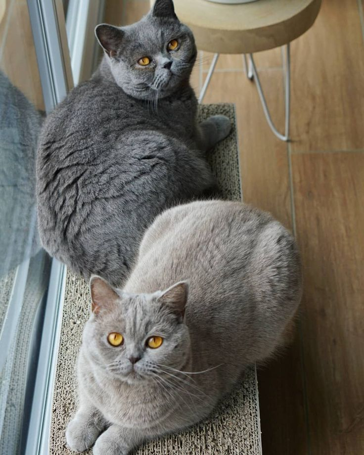 The Light Of The Dark British Shorthair Cats Chat British