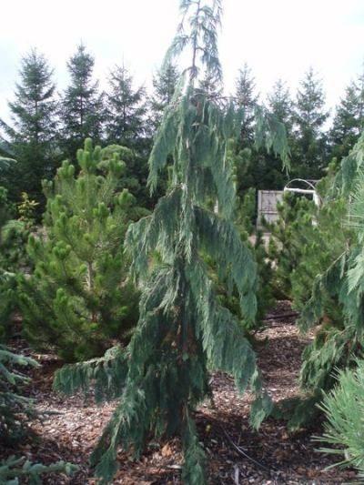 weeping dwarf evergreen trees