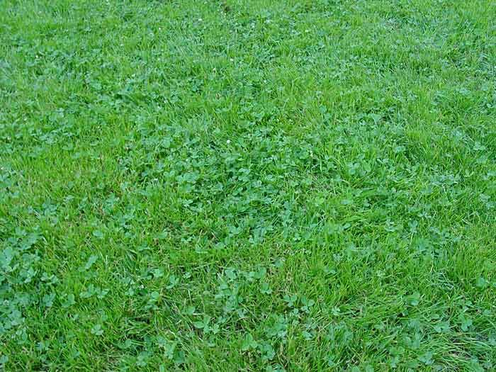 Clover Grass Is Another Good Source Of Grass One Benefit Of Having Clover Grass Would Be That It Stays Green All Summer Since It Is Drou Clover Lawn Bermuda Grass Grass