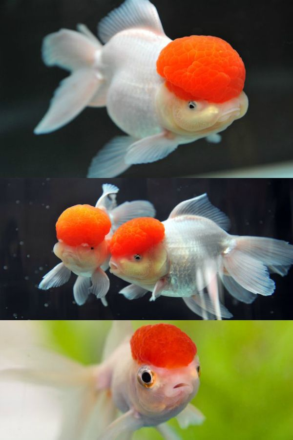 This goldfish looks like ronald mcdonald white bodies for White cap fish