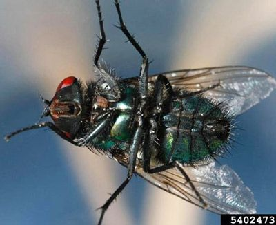 ba25e12187f8235d09ddb115a1558f54 - How To Get Rid Of Common Green Bottle Fly