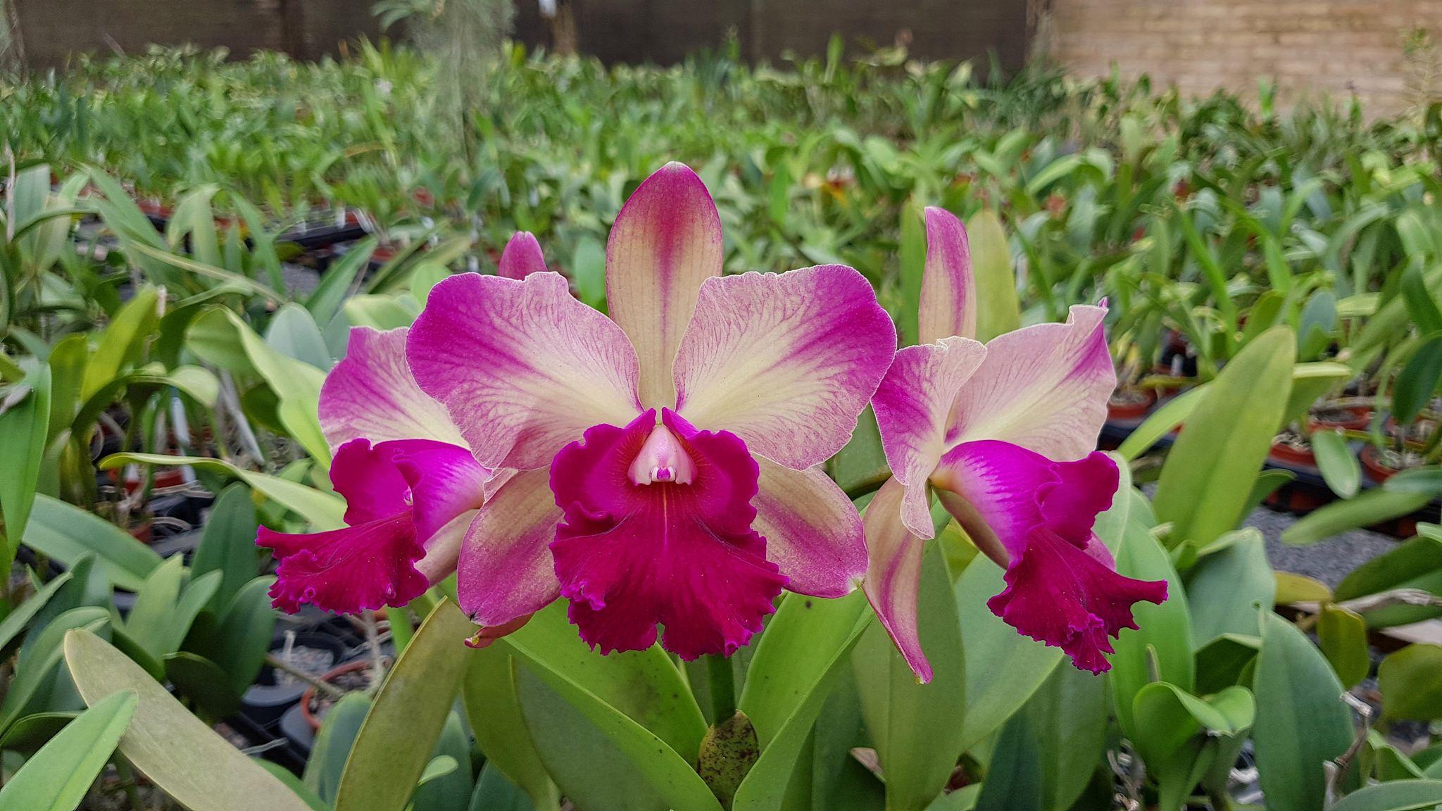 Rlc Oro Verde Victoria 2 Orchids Cattleya Plants