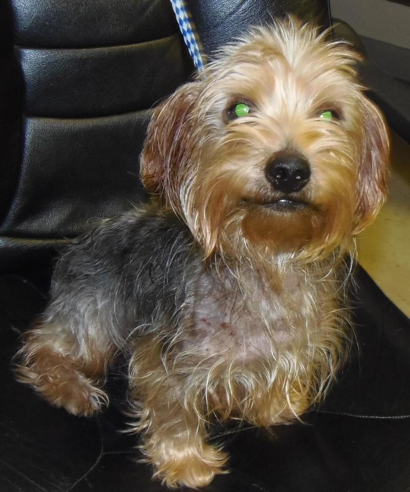 Adopt pending lionel on petfinder terrier dogs cute