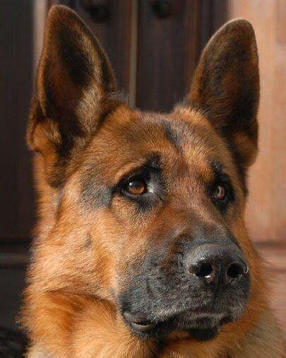 Gsd Germanshepherd Dogsofinstagram Gsdofinstagram Dog K Dogs