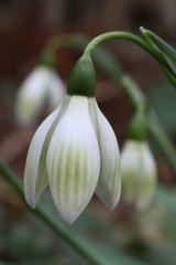 Pflanzenliste Pflanzen Zwiebel Pflanzen Schneeglockchen