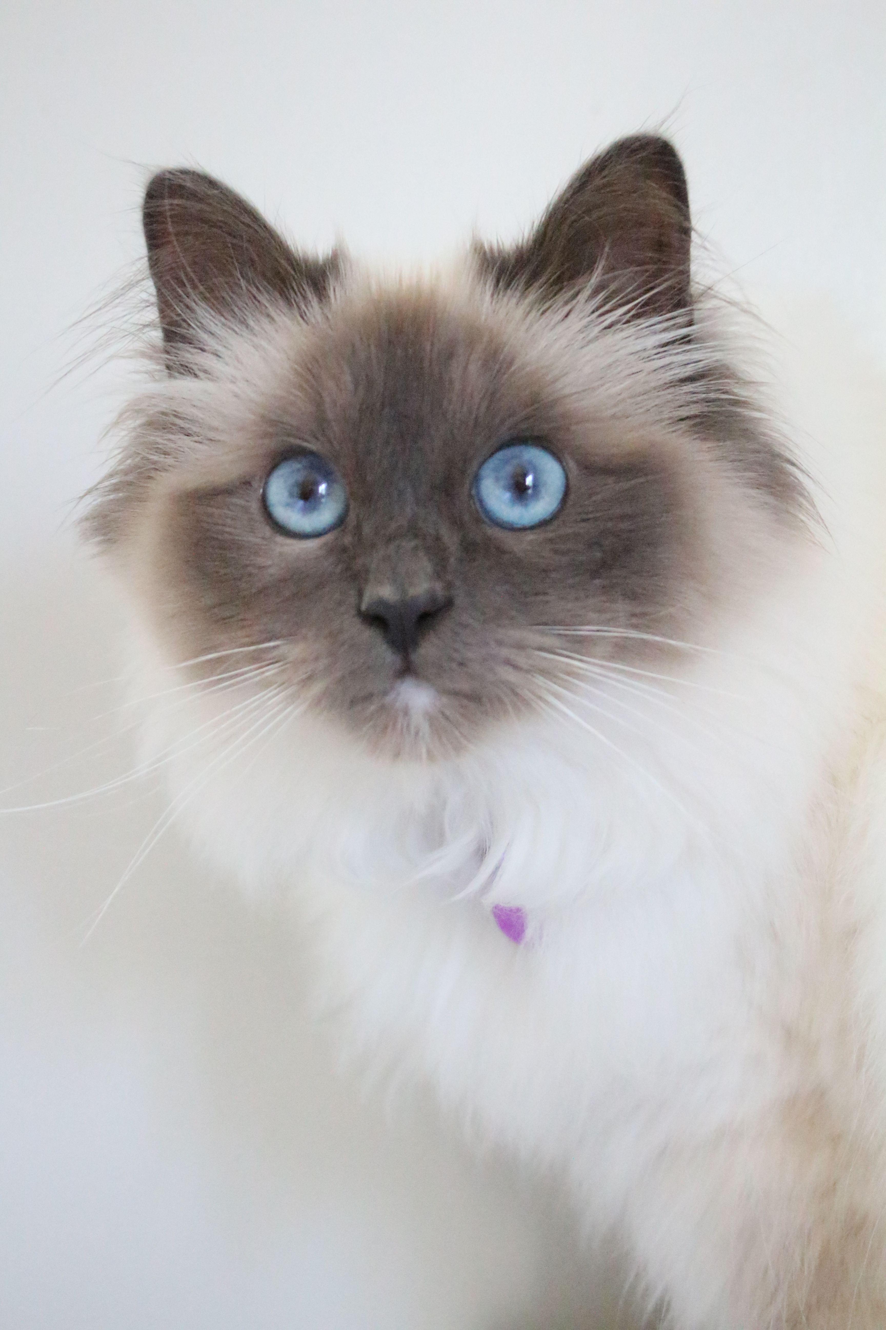 Birman Kitten Cat Blue Point 10 Months Old Long Hair Cat Breeds Cats Pretty Cats