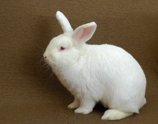 New Zealand Rabbit Breed The Same Breed As Thumper New