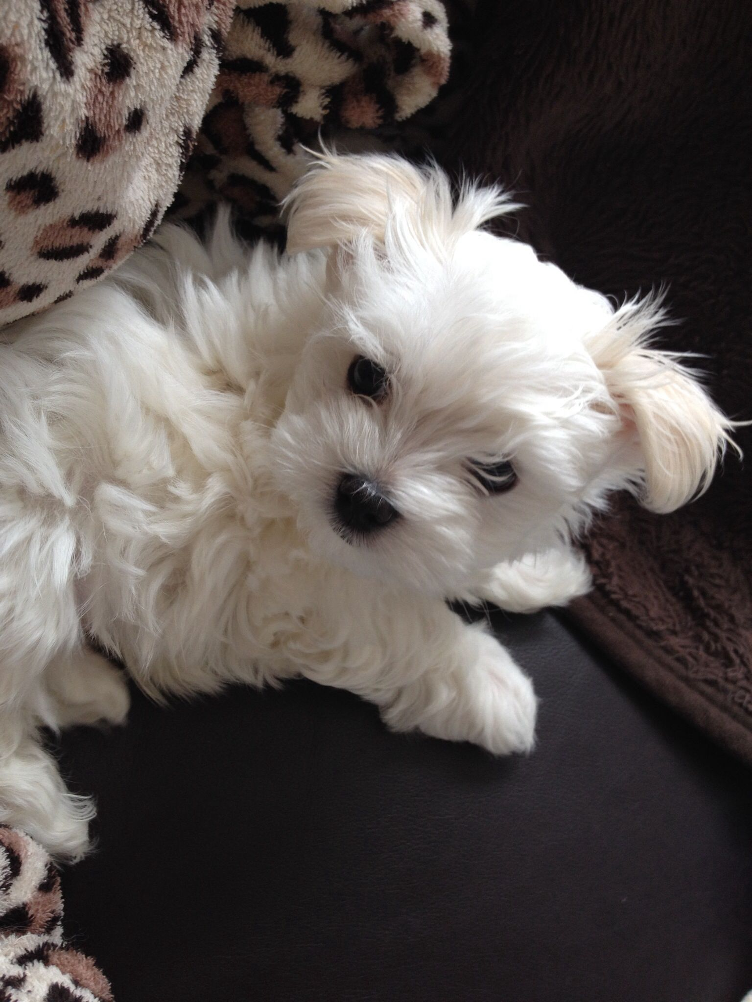Beautiful Maltese Puppy At 8 Weeks Old Maltese Puppy