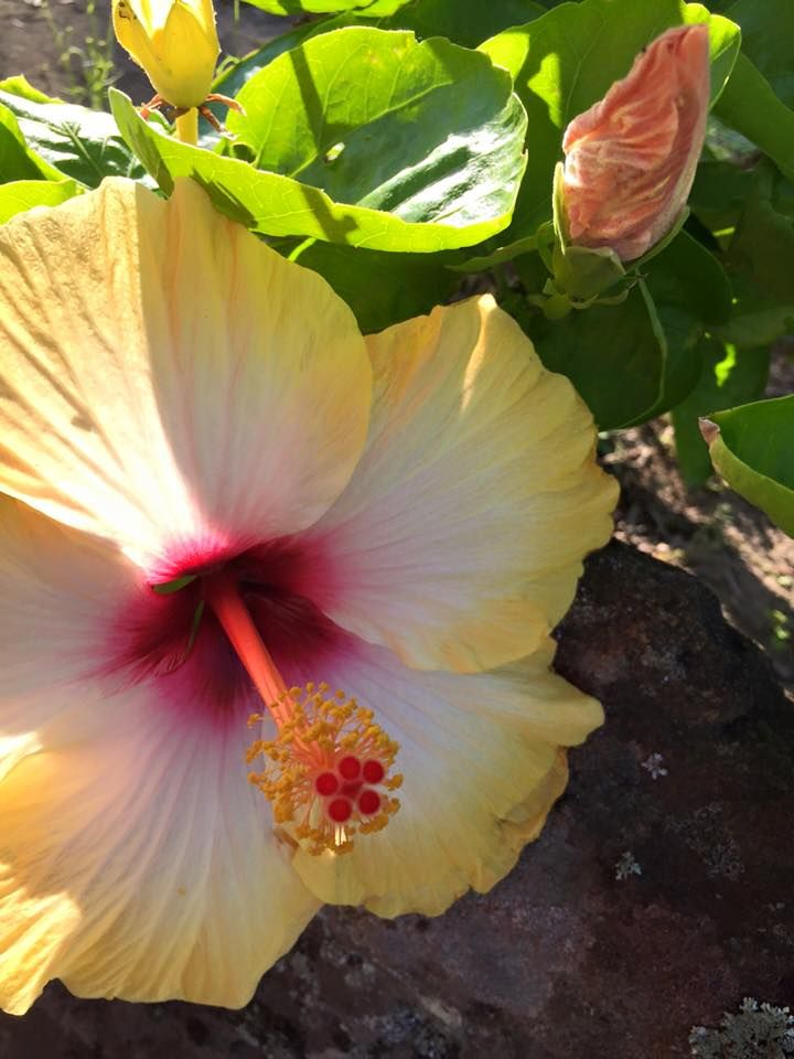 Beautiful Hibiscus Flower Photo Credit Noatia Lemon Hibiscus Flower Photos Hibiscus Flowers
