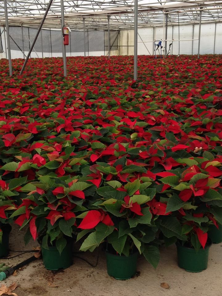 Clegg S Nursery In Baton Rouge La Getting Ready For Christmas Poinsettia