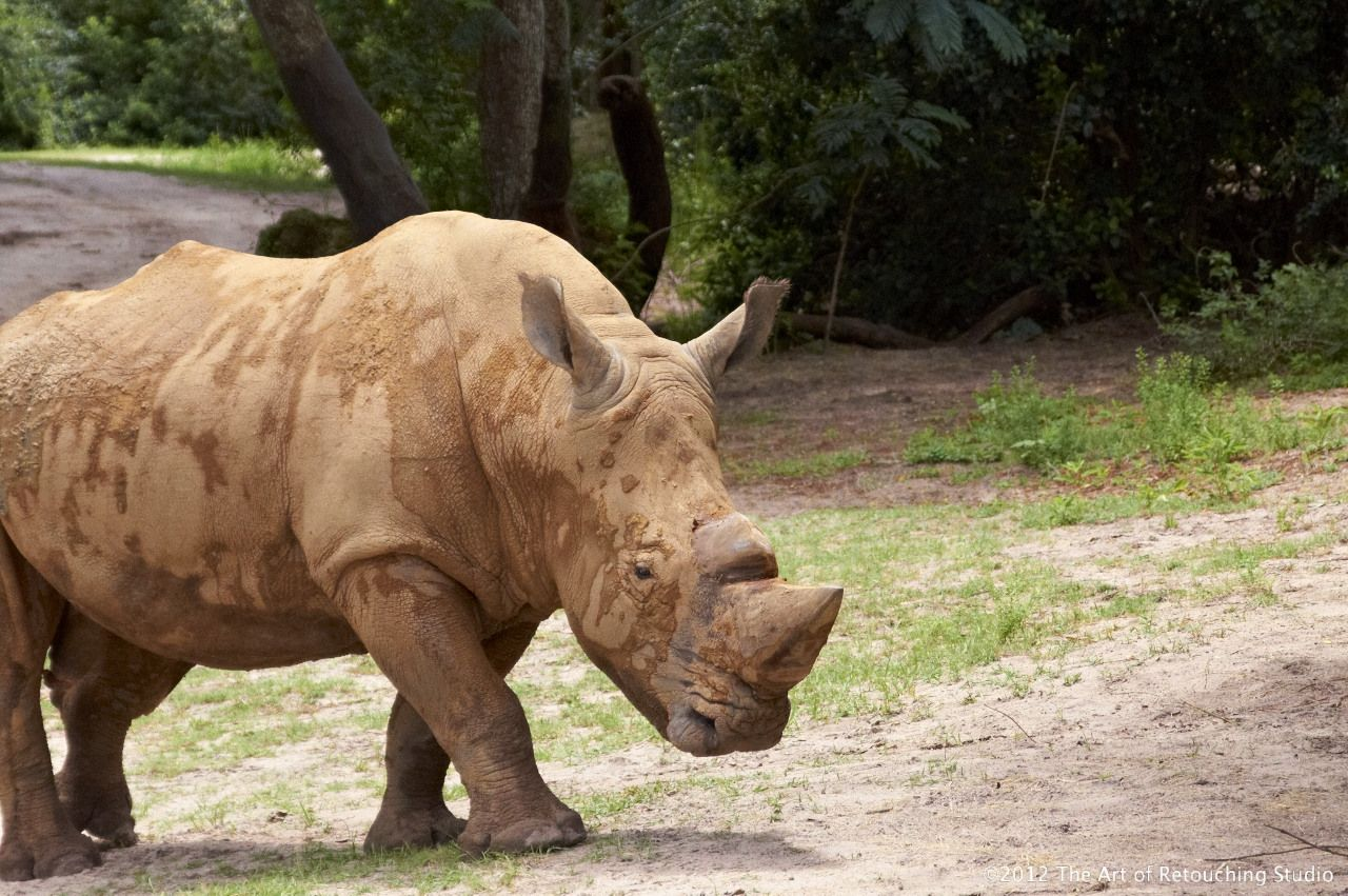 The Mighty Rhino by John Ross Already endangered from the