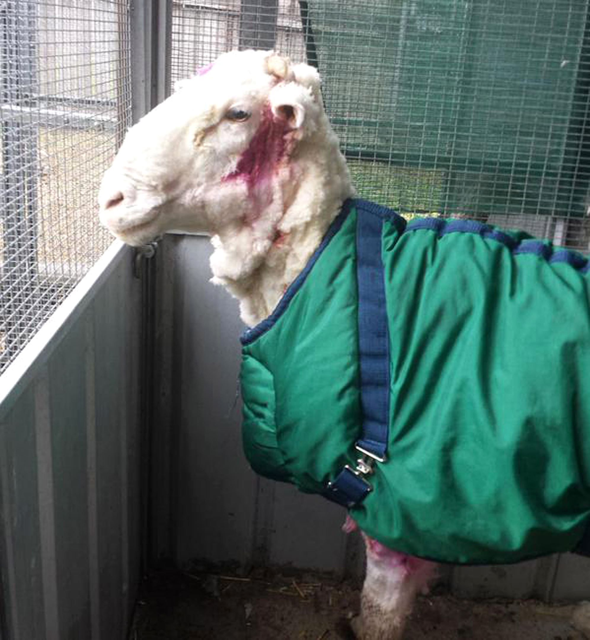 Lost Australian Sheep Yields 30 Sweaters Worth Of Fleece Australian Sheep Sheep Animals