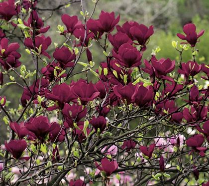 Wish Fulfillment Let The Wonder Of Nature Genie Magnolia Grant Your